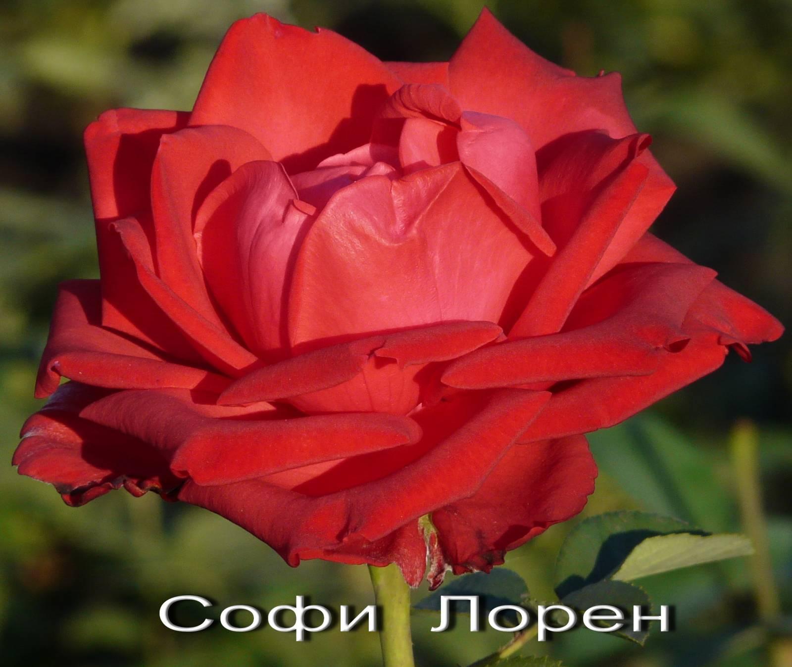 Роза сорт софи лорен фото